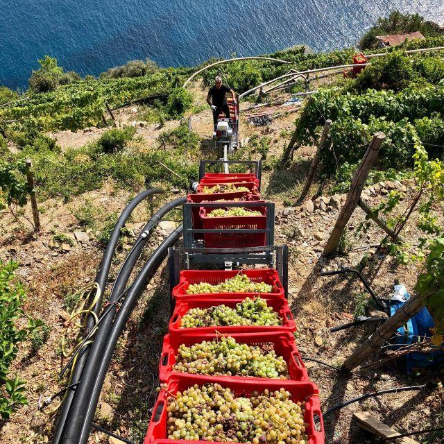 Vendemmia costa dé sèra 2020. #vendemmia #cinqueterre #harvest #riomaggiore #vino #wine #vendemmia2020 #litan #sciacchetrail #vigneron #vigne #vinoligure #winelover