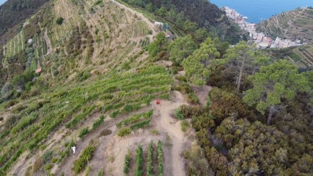 The grape harvest is happening now at Corniolo hill, trail #532 @cantinabordone @magnati  #vendemmia2021 #harvest2021 #cinqueterre #vineyards #winedestinations #winecountry #winerace #destinationrace #wineland #cinqueterre #outdoorparadise #extremewines #sciacchetrail