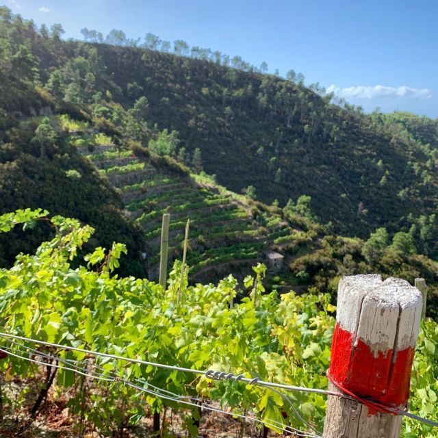 Vineyards of #forlinicappellini and @cantineburasca winemakers on Trail N. 532C  #vineyards #cinqueterre  #nationalpark #liguria  #italy #cinqueterrewine #localwine